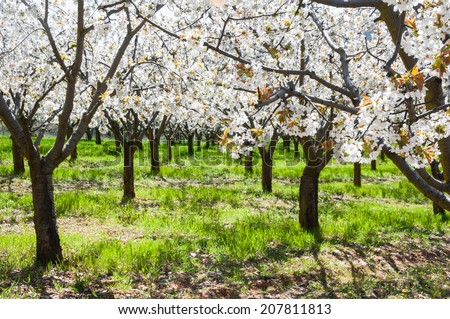 Cherry blossoms, Caderechas valley (Spain) - stock photo