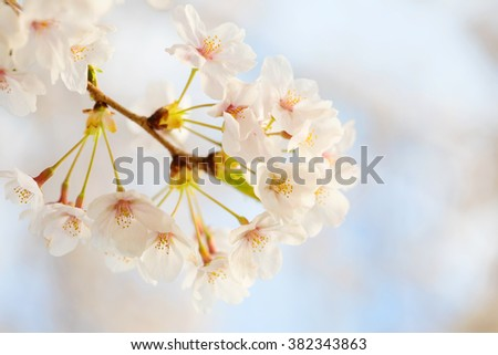 Cherry blossoms flowers in bloom, spring theme with copyspace - stock photo