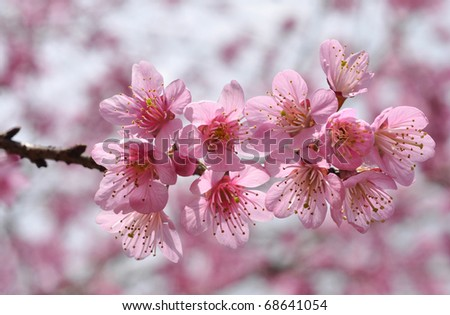 Cherry blossoms in full bloom - stock photo