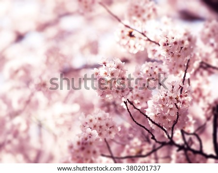 Cherry blossoms in full bloom. Intentionally shot in Impressional-tone. - stock photo