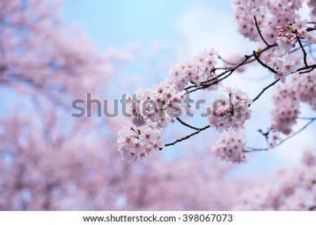 Cherry blossoms in full bloom. Soft pastel pink cherry blossom flowers and beautiful pastel blue spring sky in background. - stock photo
