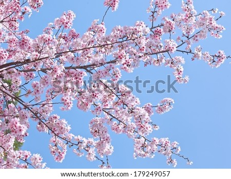 Cherry blossoms in full bloom under blue sky.  - stock photo