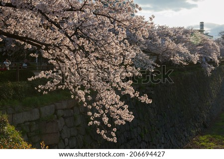 Cherry Blossoms in Osaka Castle Moat - stock photo