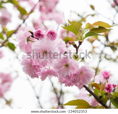 cherry blossoms in springtime - stock photo