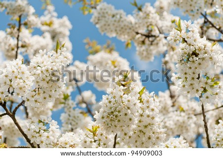 cherry blossoms in the sky clouded - stock photo