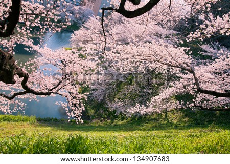 cherry blossoms in the springtime 4 - stock photo