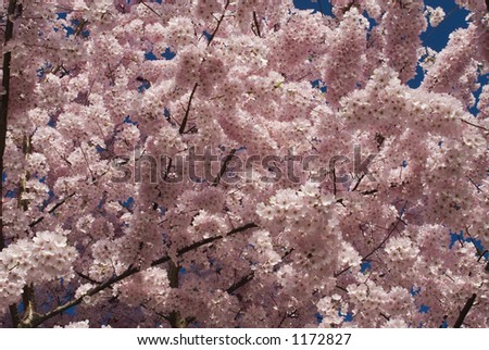 Cherry blossoms in Washington, DC - stock photo