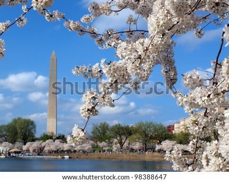 cherry blossoms of Washington DC blooming in the spring season at the Tidal Basin - stock photo