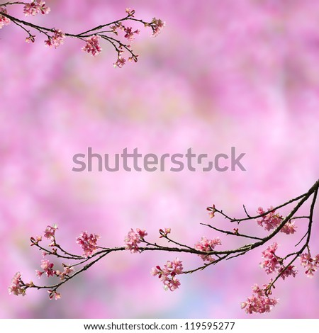 Cherry blossoms on pink background - stock photo