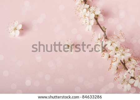 Cherry blossoms on pink background. - stock photo
