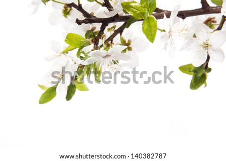 Cherry blossoms on the white background - stock photo