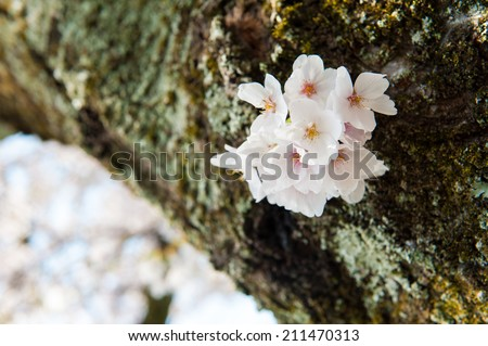 Cherry blossoms on tree branch - stock photo