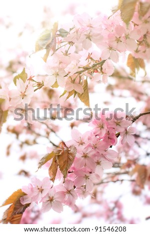 Cherry blossoms (sakura) - stock photo