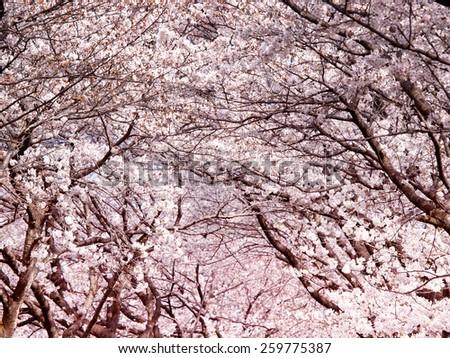 Cherry blossoms. Tunnel arch of blooming cherry trees. - stock photo