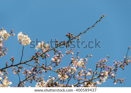 Cherry blossoms with blue sky - stock photo
