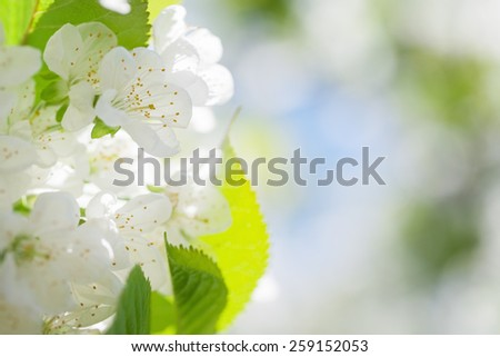 Cherry blossoms with green leaves on a soft blurred background - stock photo