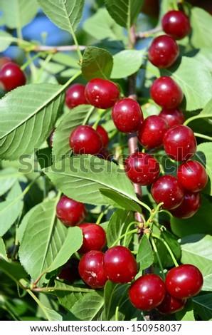 Cherry Cluster - stock photo