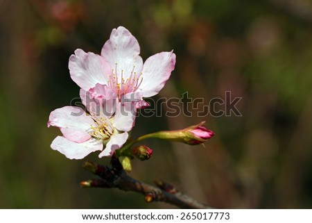 cherry flower blooming - stock photo