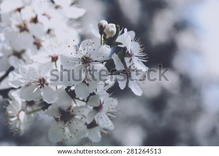 Cherry flowers, abstract spring backgrounds - stock photo