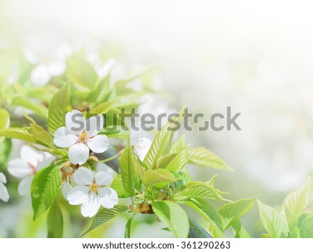 Cherry flowers background in spring season. Closeup in selective and soft focus - stock photo