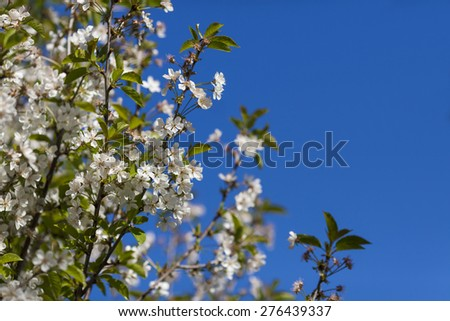 Cherry flowers in the spring - stock photo