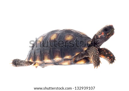 Cherry head red foot tortoise, Geochelone carbonaria, isolated on white. - stock photo