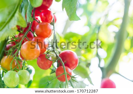 Cherry Tomato on the vine - stock photo