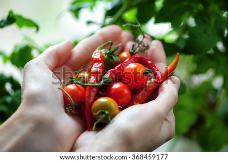 cherry tomatoes and chili peppers in hands close-up on green foliage background  - stock photo