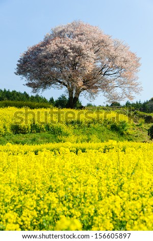 Cherry tree and rape blossoms - Wonderful scene of Japan  - stock photo