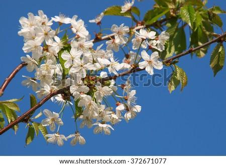 Cherry tree blossom - stock photo