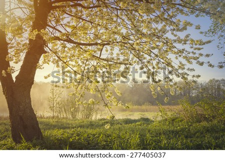 Cherry tree  blossom over sunrise in morning time - stock photo