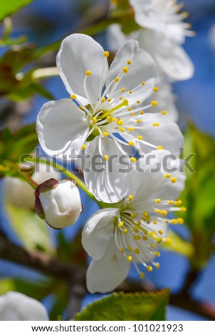 Cherry-tree blossom. White flowers and green leaves against a blue sky - stock photo