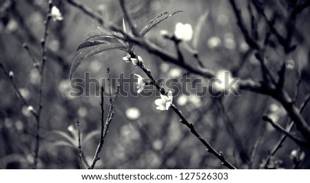 Cherry tree blossoms in black and white. - stock photo