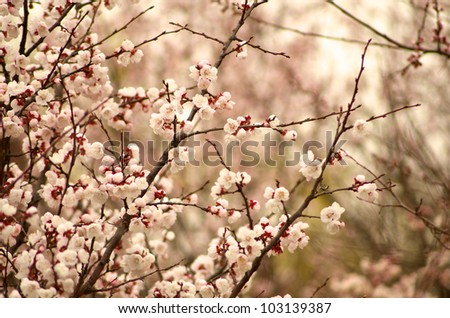 Cherry tree blossoms in the park - stock photo