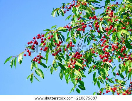 cherry tree branches with red berries - stock photo