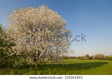 Cherry tree full blooming in spring in front of blue sky - stock photo