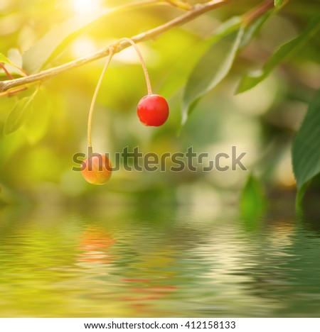Cherry tree with red fruits growing in the garden, natural sunny seasonal background with water reflection - stock photo