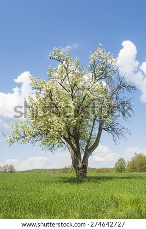 Cherry Trees Blooming on Green Field in Spring Landscape - stock photo