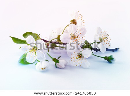 cherry twig in bloom - stock photo