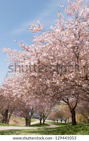 chery trees - stock photo