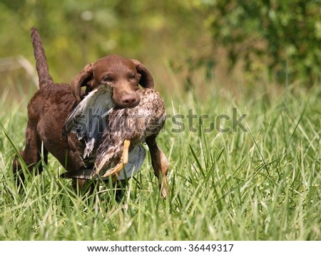 Chesapeake Bay Retriever puppy 4 months old happily retrieving his duck. - stock photo