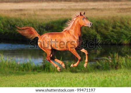 chestnur arab horse gallop in the summer - stock photo