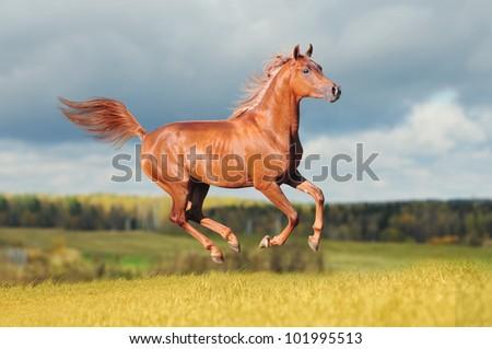 chestnut arab horse - stock photo