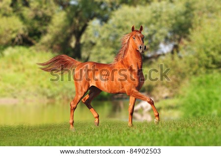 chestnut arab horse in a meadow - stock photo