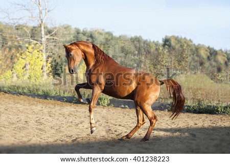 chestnut arab horse plays in paddock - stock photo