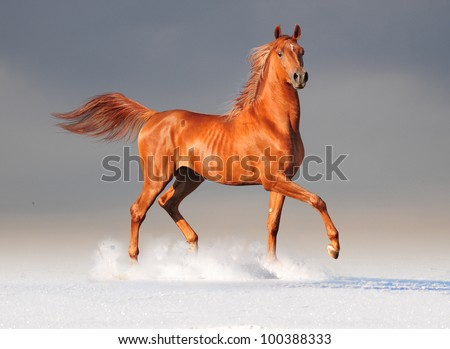 chestnut arab run free in snow - stock photo