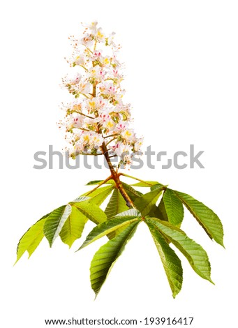 Chestnut branch isolated on white background - stock photo