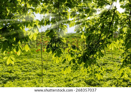 Chestnut branches in the spring, through which penetrate the sun's rays on the background lawn with grass and blooming tulips  - stock photo