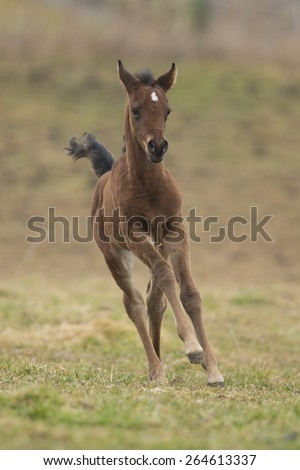 Chestnut Colt Running On The Meadow - stock photo