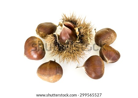 Chestnut cupule, also known as bur or burr, with sharp spines and calybia isolated on white background - stock photo
